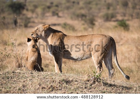 Lioness with baby on african savannah