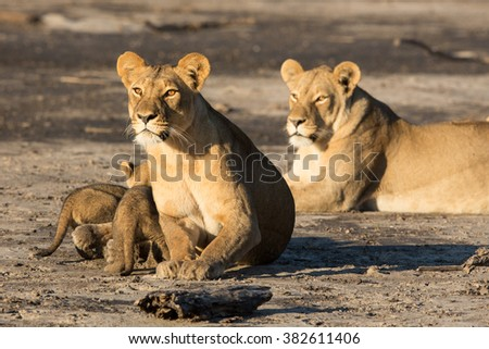 Lioness with cubs looking alert in Savuti Reserve in Botswana - stock photo