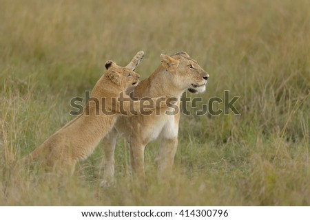 Lioness - With Playful Cub (Panthera leo) - stock photo