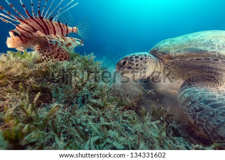 Lionfish and a green turtle in the Red Sea - stock photo