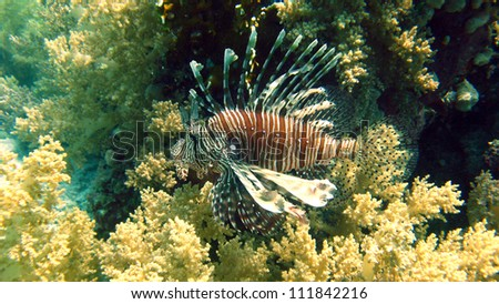 Lionfish at the coral reef of the Red Sea,Egypt - stock photo