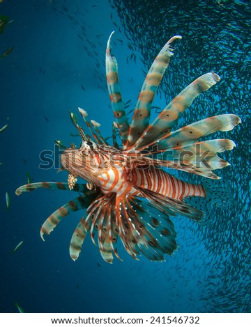 Lionfish hunting fish school - stock photo