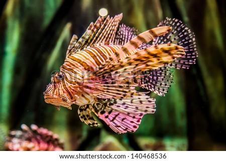 Lionfish in a Dubai aquarium. Pterois mombasae. Petrois Volitans. Lionfish. Turkeyfish. Scorpionfish. Firefish. - stock photo
