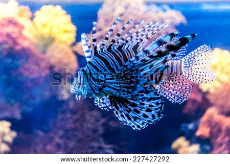 Lionfish in a Dubai aquarium. Pterois mombasae. Petrois Volitans. Lionfish. Turkeyfish. Scorpionfish. Firefish. - stock photo