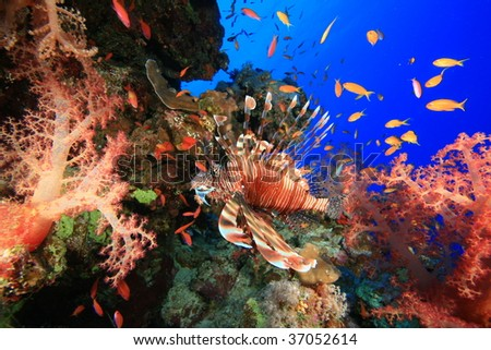 Lionfish in colorful soft coral - stock photo
