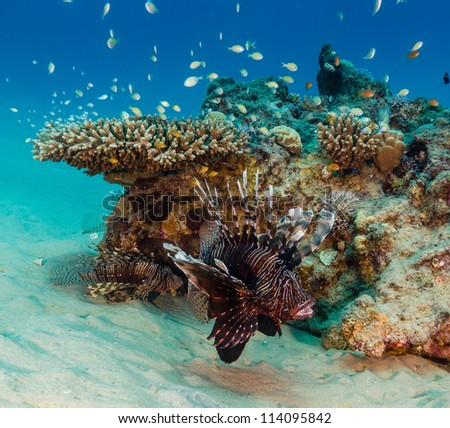 Lionfish, mouth open swims past a table coral on a tropical reef - stock photo