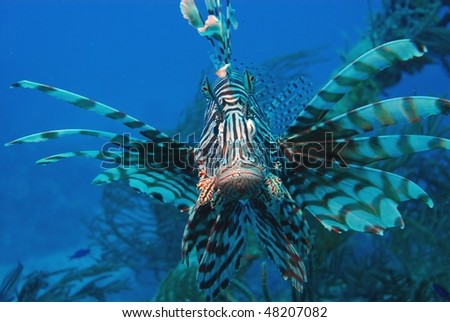 Lionfish overpopulating the Bahamas