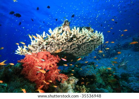 Lionfish perched on top of coral - stock photo