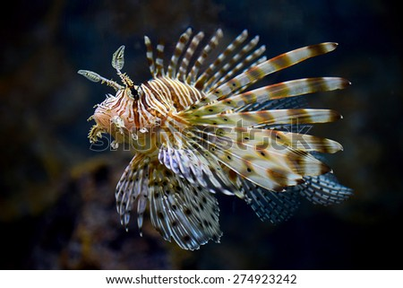 Lionfish (Pterois miles) portrait among colorful small fishes at the coral reef underwater - stock photo