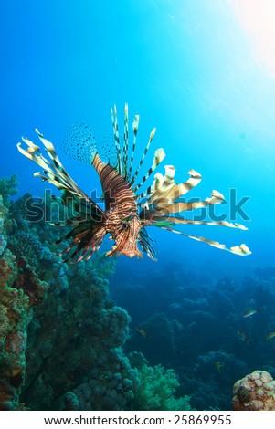 Lionfish (Pterois volitans) - stock photo