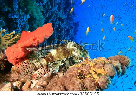 Lionfish resting on a coral reef surrounded by tropical fish - stock photo