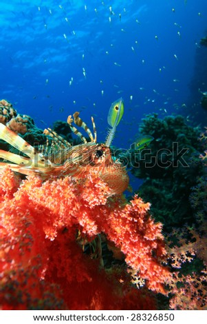 Lionfish, Soft Coral and Glassfish - stock photo