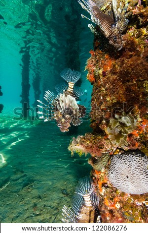 Lionfish swim underneath a coral encrused jetty - stock photo
