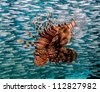 Lionfish swimming next to silver bait fish awaiting its next meal - stock photo