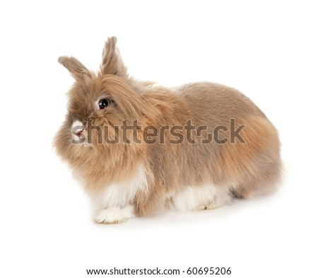 Lionhead rabbit. In the Oriental calendar 2011 - the year of rabbit.