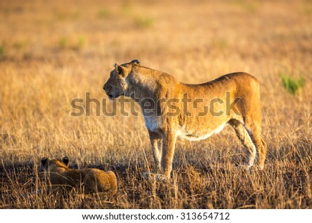 Lions cub in the Serengeti National Park, Tanzania, Africa