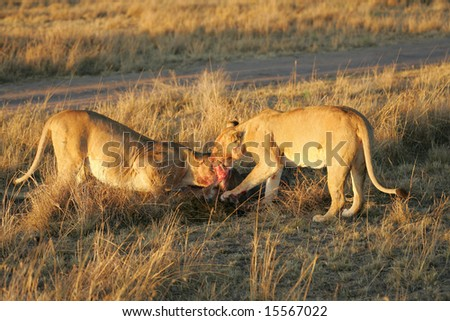 Lions Feeding on a Wildebeest