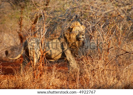 lions in kruger park - stock photo