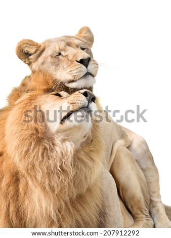 Lions in love - stock photo