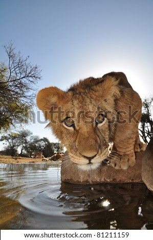Lions in south africa - stock photo
