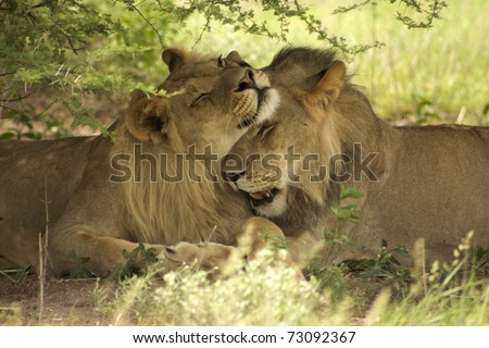 Lions kissing each other in the bush during a Safari in Botswana - stock photo