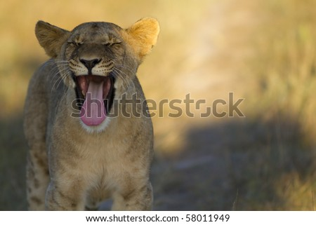 Lions large yawn - stock photo