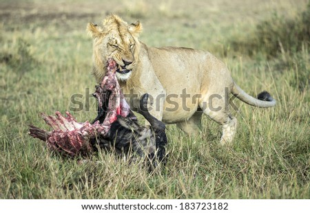 LIONS LUNCH - stock photo
