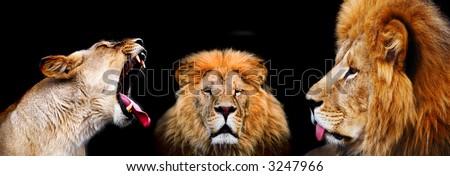 lions on black background - stock photo