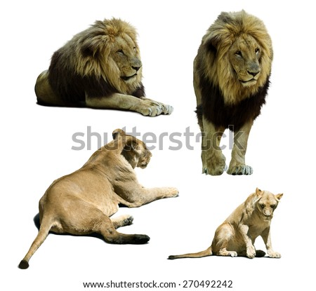 lions on on white background  - stock photo