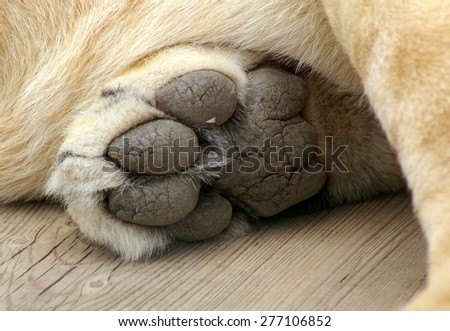 Lion Paw Stock Images, Royalty-Free Images & Vectors | Shutterstock