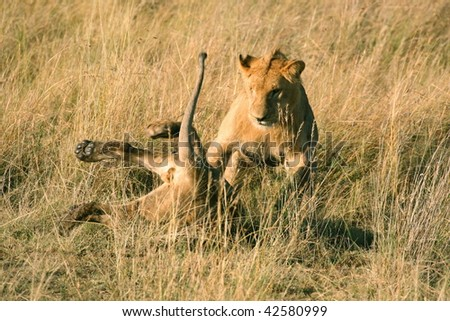 Lions play fighting in Kenya - stock photo