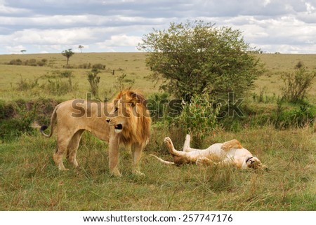 lions resting - stock photo
