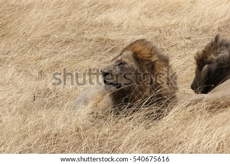Lions resting