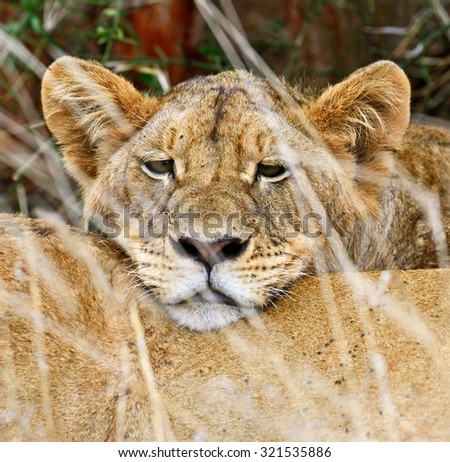 Lions Tsavo National Park in Kenya - stock photo