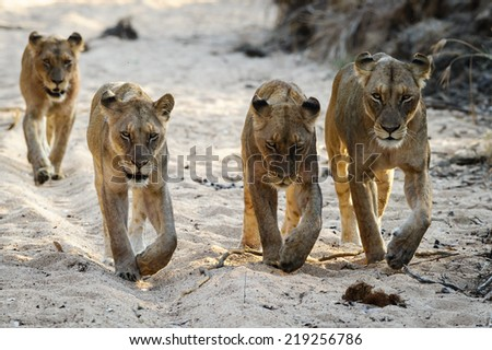 Lions walking towards camera in dry river bed - stock photo