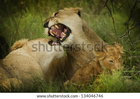 lions with teeth dangerous defend the little puppy born - stock photo