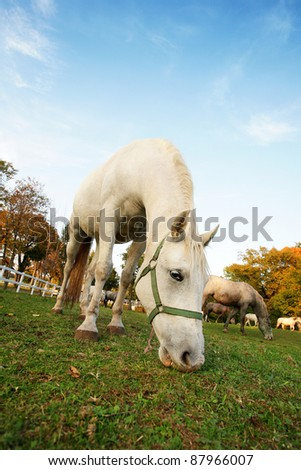 Lipizzan horse  in early autumn evening - stock photo
