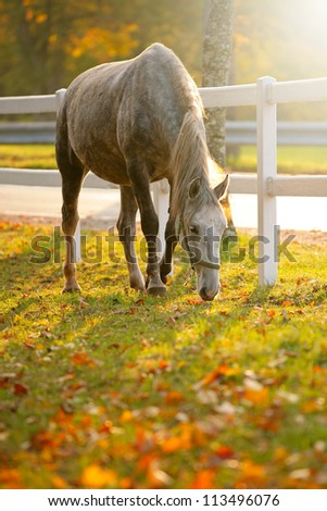 Lipizzaner horse grazing in early autumn evening - stock photo