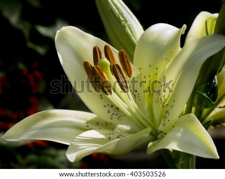 lit by sunlight, open flower white lily - stock photo