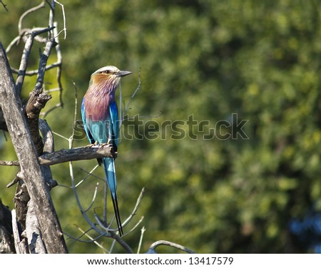 Litlac breasted roller siting on a branch