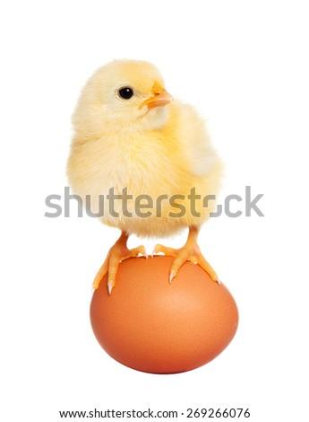 Litle fluffy newborn chick - stock photo