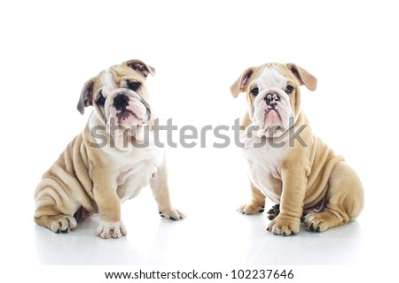 Litter brother and sister engish bulldog puppies isolated - stock photo