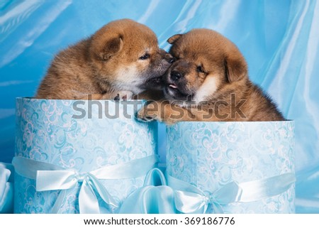 litter group of little small japan dog akita on blue background - stock photo