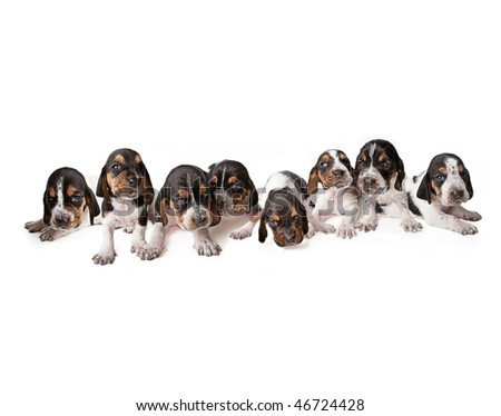 Litter of Basset Hound puppies lined up in a row - stock photo