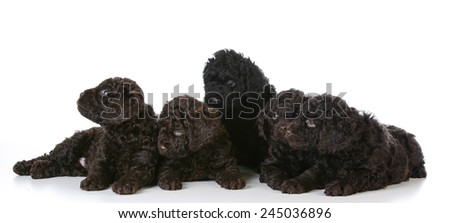 litter of five barbet puppies laying on white background - 5 weeks old - stock photo