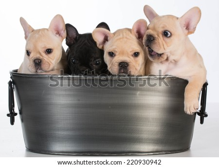 litter of french bulldog puppies in a wash basin on white background - 7 weeks old - stock photo