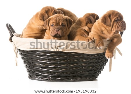 litter of puppies in a basket - dogue de bordeaux - 5 weeks old - stock photo