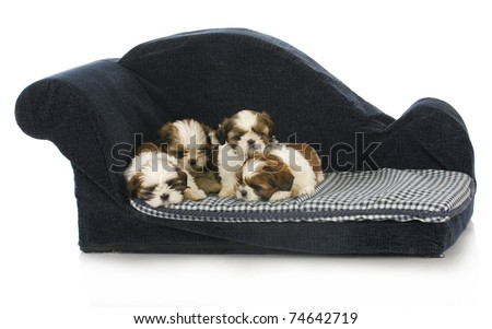 litter of puppies - shih tzu puppy laying on blue dog couch - stock photo