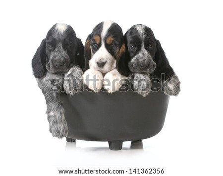 litter of puppies - three english cocker spaniel puppies in a black kettle isolated on white background - 7 weeks old - stock photo