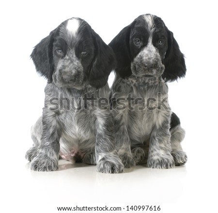 litter of puppies - two english cocker spaniel puppies sitting isolated on white background - 7 weeks old - stock photo